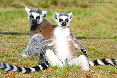 Lemurs Waiting