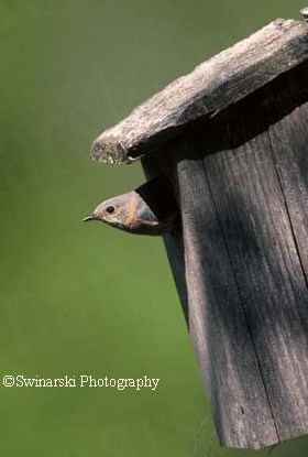 Female bluebird leaving birdhouse