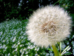 Dandelion ready to blow