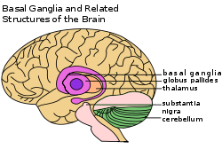 Basal Ganglia - from Wikipedia